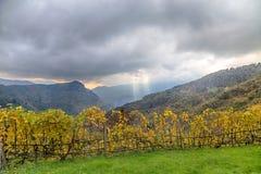 葡萄园五颜六色的行葡萄酒增长的在秋天/Italy 库存照片