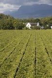 葡萄园南非概要 库存照片