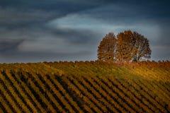 葡萄园和一棵树美好的风景在日落在一个秋天晚上 库存图片