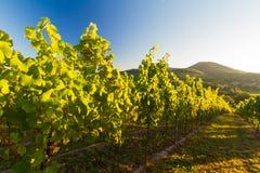 葡萄园和多小山横向在Pfalz,德国 图库摄影