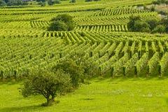 葡萄园和果树在阿尔萨斯(法国) 库存图片