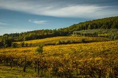 葡萄园和橄榄树全景风景  库存图片