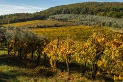 葡萄园和橄榄树全景风景  免版税库存照片