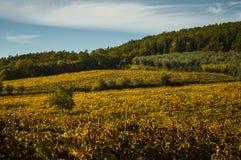 葡萄园和橄榄树全景风景  免版税库存图片