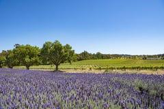 葡萄园和淡紫色,巴罗莎山谷,澳大利亚 免版税库存照片