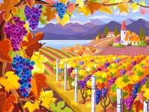 葡萄园和葡萄束 秋天横向 免版税库存照片
