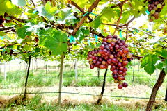 葡萄园和葡萄 免版税库存图片