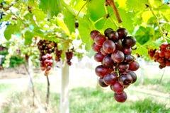 葡萄园和葡萄 免版税库存照片