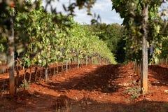 葡萄园在下午太阳的托斯卡纳 库存图片