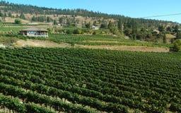 葡萄园在不列颠哥伦比亚省Okanagan 库存照片