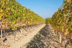葡萄园在与绿色和黄色的秋天离开,蓝天 库存图片