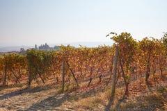 葡萄园在与黄色和褐色的秋天在意大利离开 库存图片