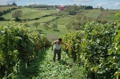 葡萄园在克罗地亚 免版税图库摄影