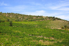 葡萄园在克里米亚 与一棵偏僻的树的夏天风景 免版税库存照片