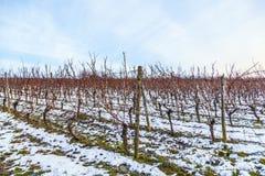 葡萄园在冬天 图库摄影