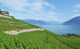 葡萄园在反对Geneva湖的Lavaux地区。Switzerla 免版税库存图片