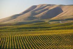 葡萄园在圣玛丽亚加利福尼亚 免版税库存图片