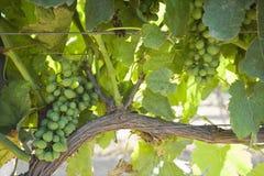 葡萄园在圣玛丽亚加利福尼亚 库存照片