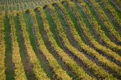 葡萄园在圣玛丽亚加利福尼亚 免版税库存照片