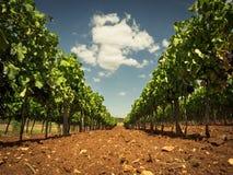 葡萄园在夏天 免版税图库摄影
