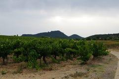 葡萄园在山和太阳背景的晚上  免版税库存照片