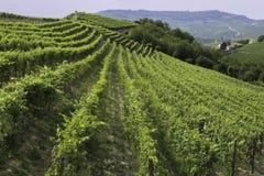 葡萄园在巴罗洛地区意大利 库存图片