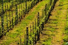 葡萄园在意大利乡下马尔什 免版税库存照片