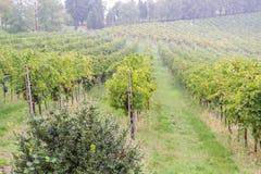 葡萄园在意大利的La Faneza乡下 免版税库存照片