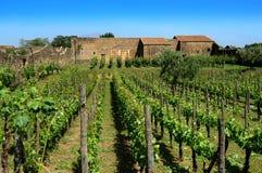 葡萄园在意大利 库存照片