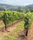 葡萄园在托斯卡纳的乡下在意大利 库存照片
