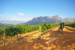 葡萄园在斯泰伦博斯,南非 免版税库存图片
