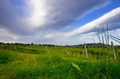 葡萄园在春天 库存照片