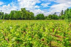 葡萄园在法国乡下 库存图片