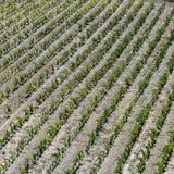 葡萄园在法国普罗旺斯地区 库存图片