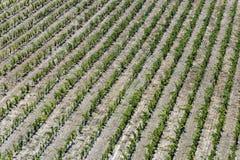 葡萄园在法国普罗旺斯地区 库存照片