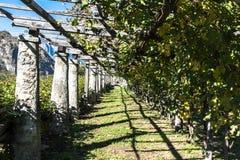 葡萄园在瓦莱达奥斯塔,意大利 库存照片