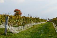 葡萄园在秋天我 库存图片