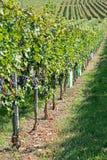 葡萄园在秋天收获风景的一个晴天用在藤分支的有机葡萄 在秋天的成熟葡萄 免版税库存图片