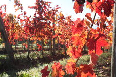 葡萄园在秋天 免版税库存图片