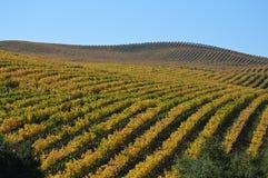 葡萄园在秋天 免版税图库摄影
