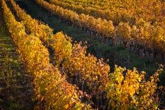 葡萄园在秋天 图库摄影