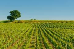 葡萄园在红葡萄酒 免版税库存图片