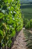葡萄园在莱茵河流域巴列丁奈特 免版税库存照片