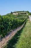 葡萄园在莱茵河流域巴列丁奈特 库存照片