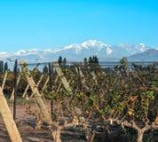 葡萄园在迈普中, Mendoza阿根廷省  库存图片