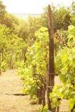 葡萄园在阳光下 免版税库存照片