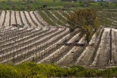 葡萄园在Hanadiv谷的冬天 免版税库存图片