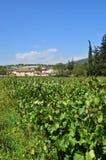 葡萄园在Nemea地区,希腊 免版税库存图片