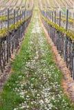 葡萄园在Pfalz,德国 免版税图库摄影