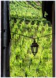 葡萄园在Riquewihr,阿尔萨斯,法国 免版税库存图片
